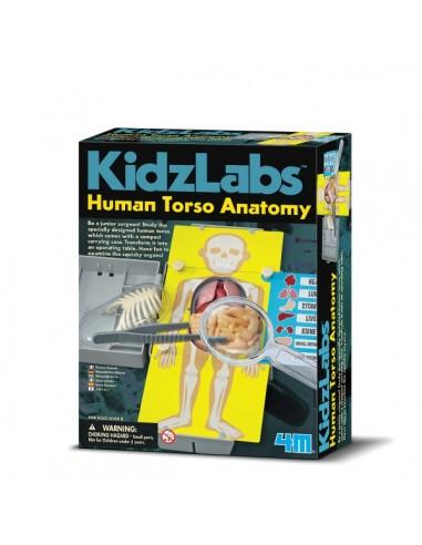 Anatomia Torso Humano